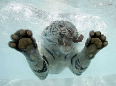 White Tiger Underwater